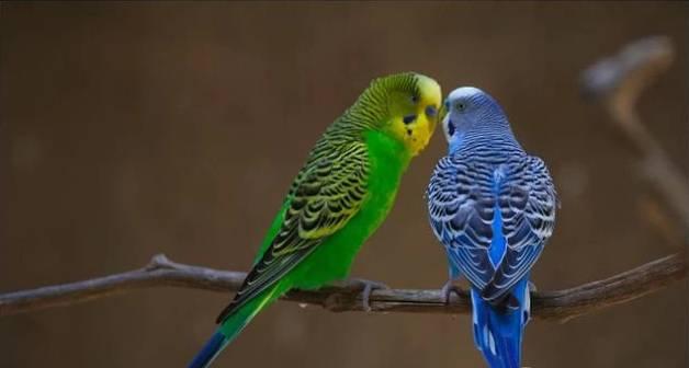 虎皮鹦鹉怎么分公母,怎样分辨虎皮鹦鹉的公母雌雄