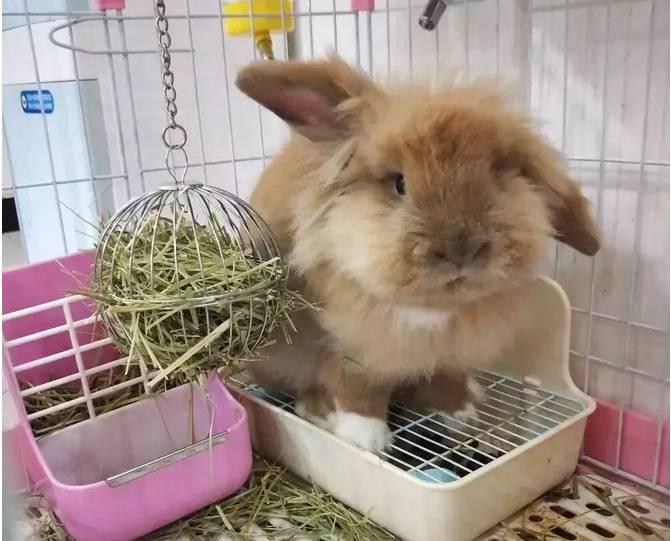 怎么训练兔子上厕所