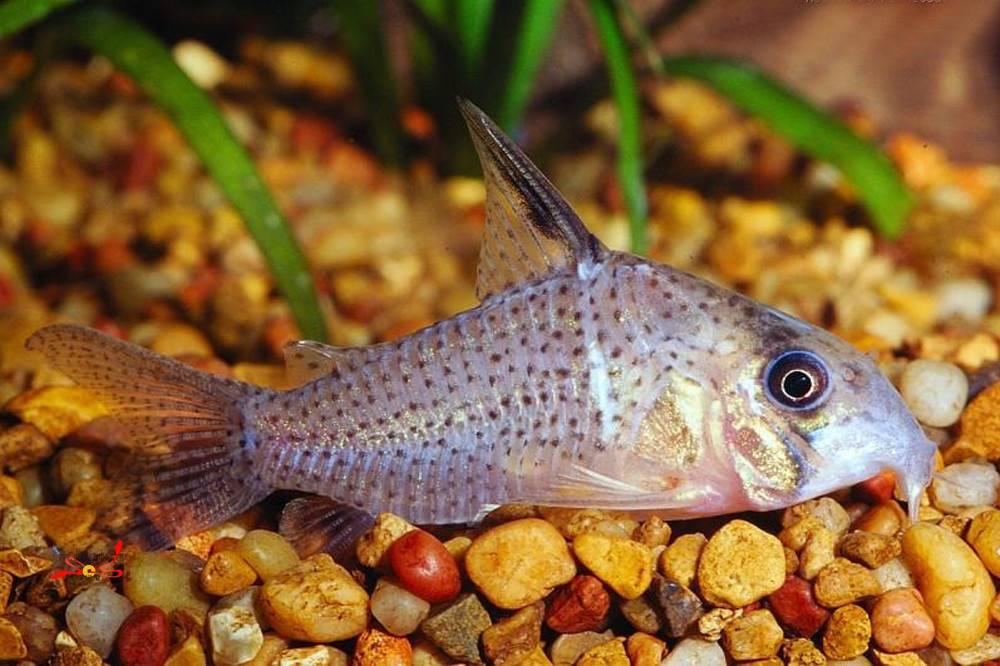 白豹鼠鱼也是比较容易饲养的,并且因为他们独特的美深受鱼友们的欢迎
