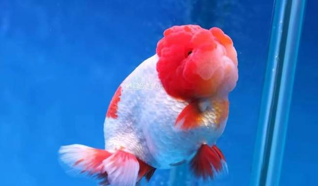 新鱼到家过完水后,如何检疫是好?