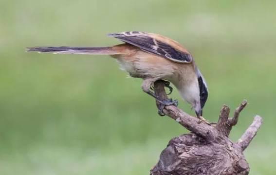 伯劳鸟怎么养