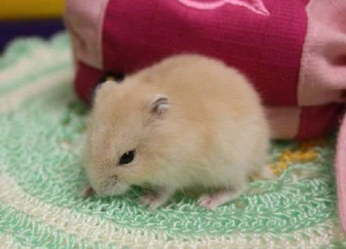 仓鼠是怎样成为宠物的?