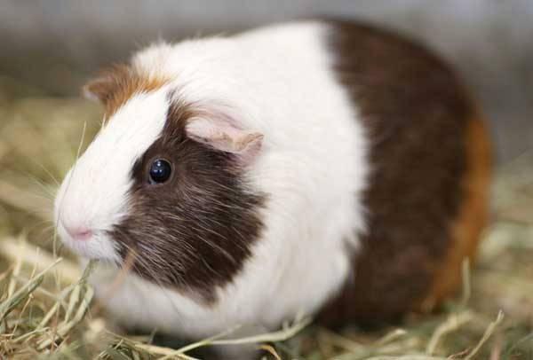 荷兰猪g.jpg