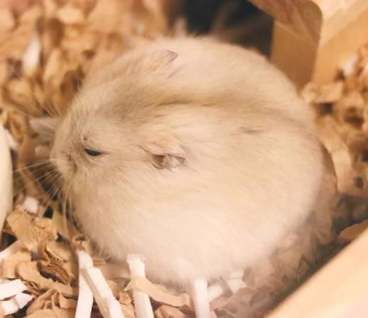 最近推特上的一只小仓鼠火了这只仓鼠又圆又胖简直是可爱到爆炸