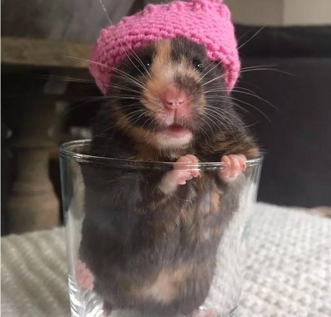 让这只小仓鼠看起来有点丑、又有点萌。