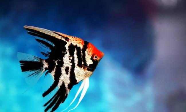 鸳鸯神仙,又名半身黑神仙,原产地南美洲亚马逊河,喜欢弱酸性软水。体长约为10~15厘米,体呈侧扁状,头尖,腹鳍是两条长长的丝鳍,前半身银白或灰白色,后半身全黑色,黑白分明,非常美丽。