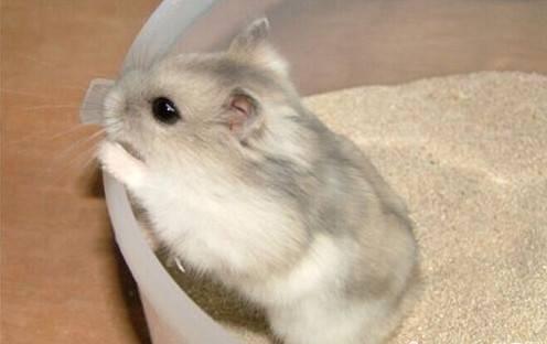 仓鼠怎么分辨公母,仓鼠怎么分公母分图片