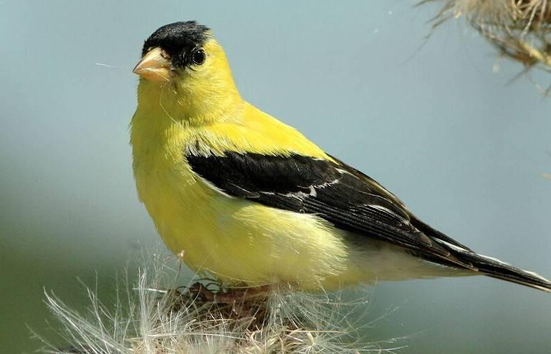 黄鹂鸟如何饲养