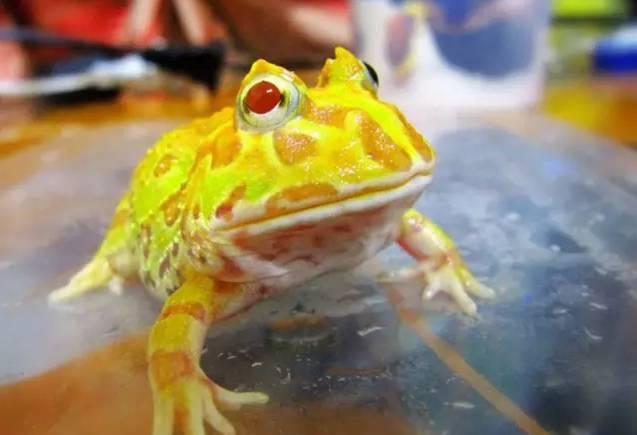 角蛙资料介绍