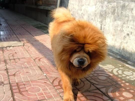 松狮犬经常喂狗粮还好吗