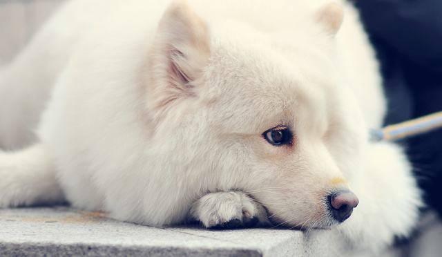 萨摩耶狗狗一天吃多少狗粮才合适