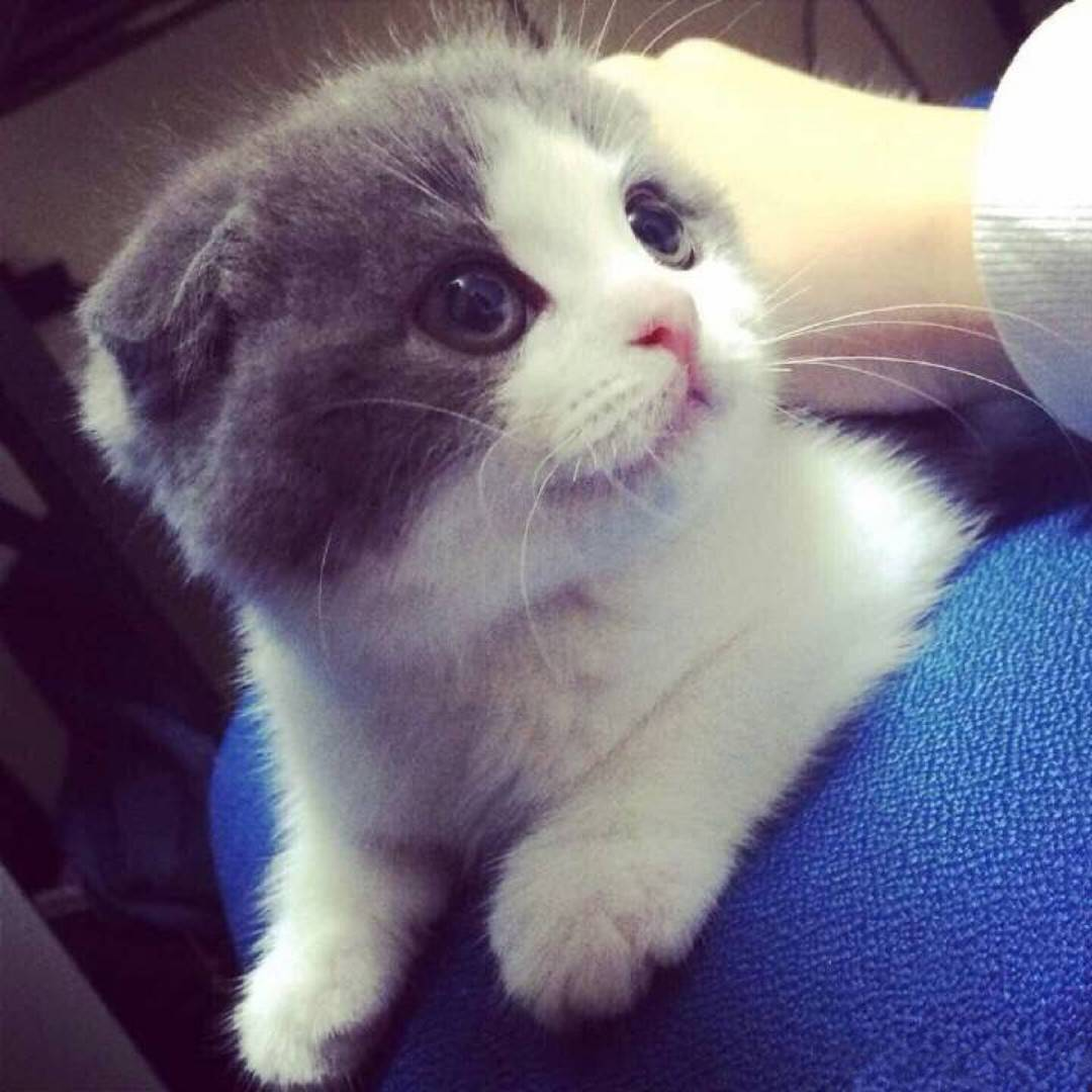 猫咪肠胃炎怎么办 肠胃炎是常见疾病之一