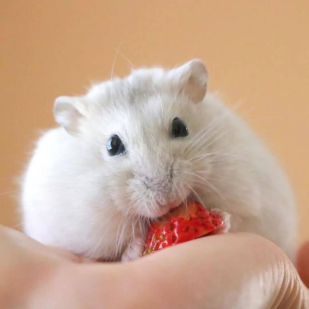 小仓鼠,平时超喜欢吃水果,最爱的就是草莓啦