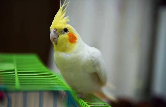 玄凤鹦鹉又叫鸡尾鹦鹉卡美鹦鹉,高冠鹦鹉,玄凤,卡美