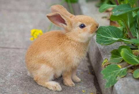 多瓦夫兔怎么饲养?