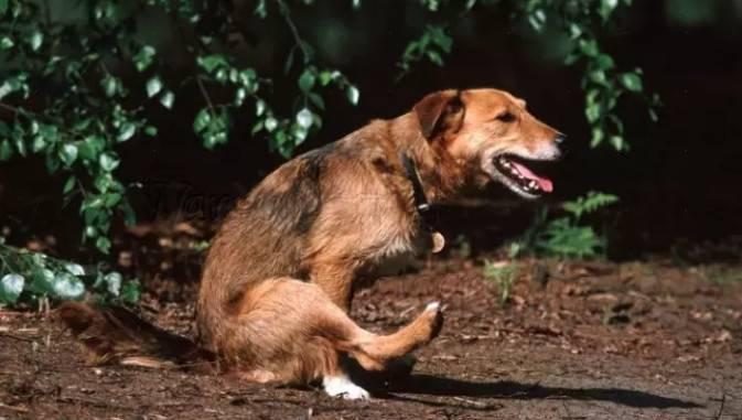 狗狗在地上蹭屁股?狗蹭屁股是怎么回事啊