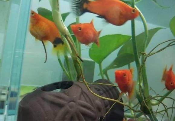 """据鱼友""""露雨凝幽""""介绍,自家米奇鱼好几个月一直大着肚子不生,都怀疑它是不是生病了,""""前几天终于生小宝宝啦,而且生了将近40条,好多好多的小红鱼呀,太可爱了,这会肚子又大啦~这是要爆缸的节奏吗~"""" 米奇鱼的怀孕周期一般为28~31天,大约一个多月繁殖一次。当观察到母鱼(公米奇鱼腹鳍为箭型,母米奇鱼腹鳍为扇型)腹部浑圆隆起,胎斑颜色明显加深时,就需要为其准备繁殖盒安静待产。生下的小鱼建议隔离,以防被大鱼吃掉。"""