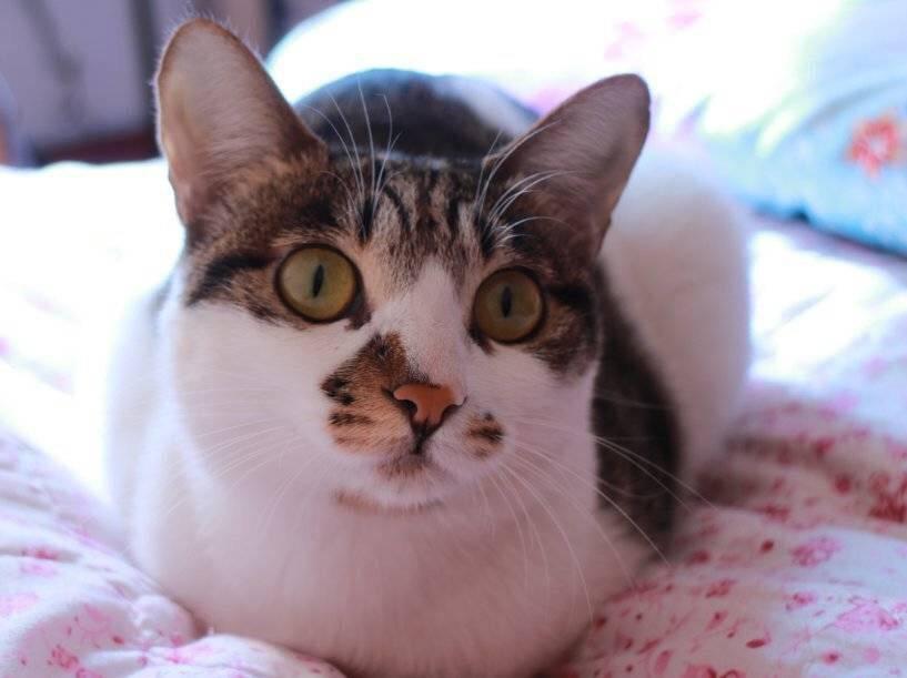 中华田园猫,还是可以就是太爱叫了哈哈