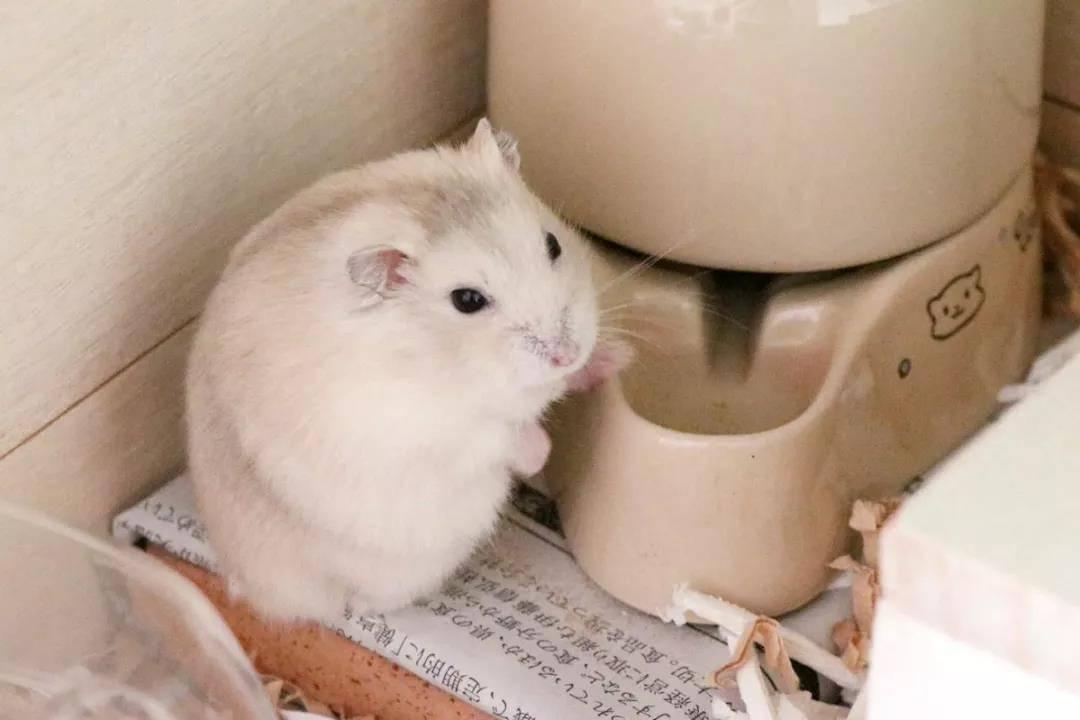 一只超级圆的小仓鼠