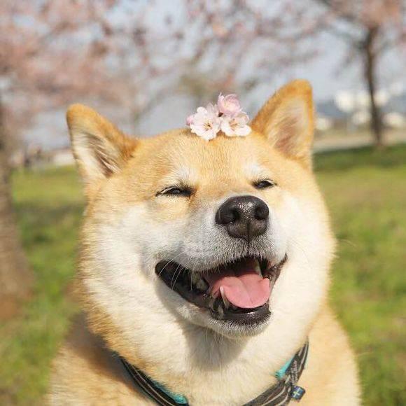 柴犬与樱花