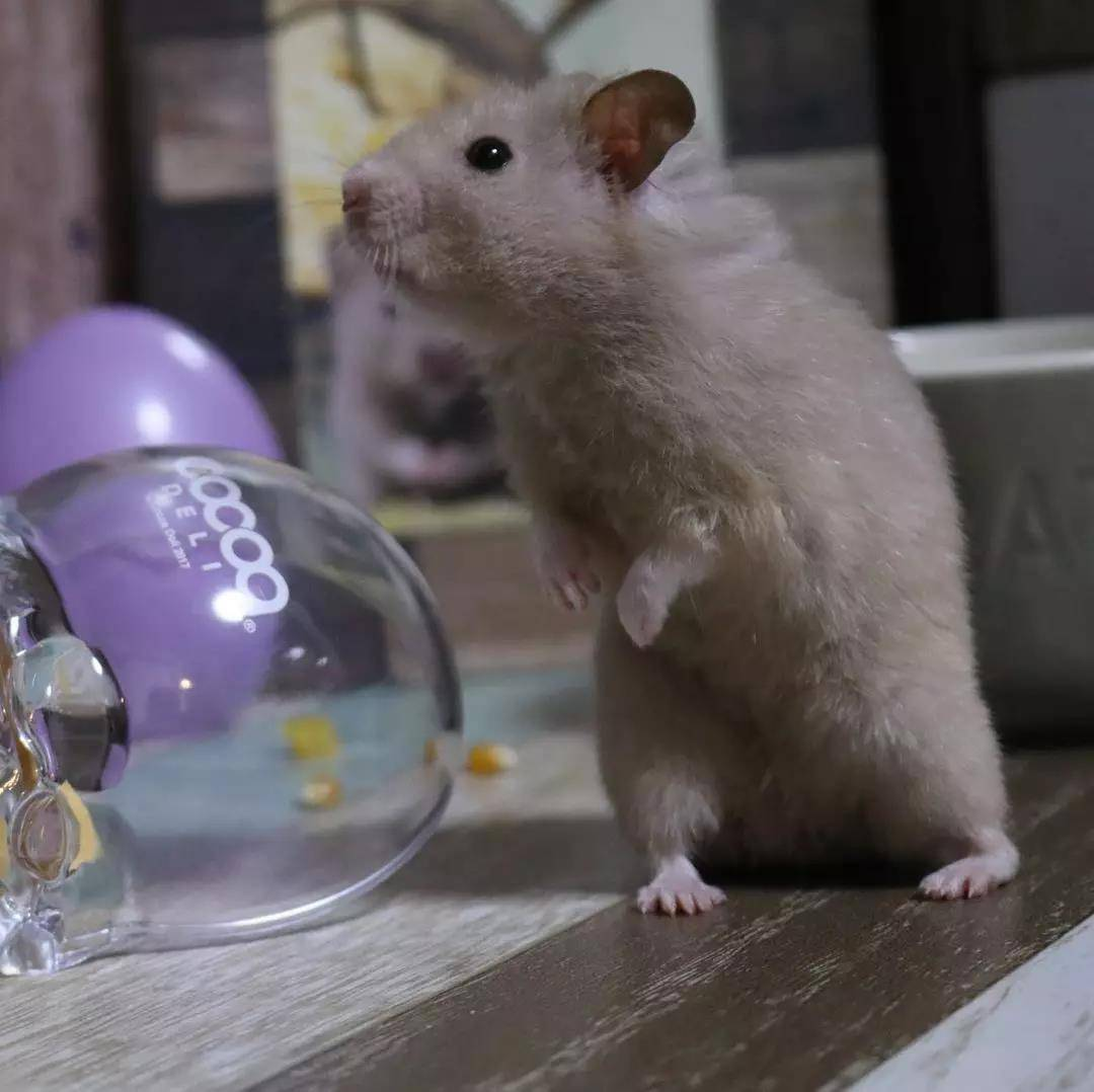 小仓鼠以为主人不在偷吃甜点,主人:就等你了!
