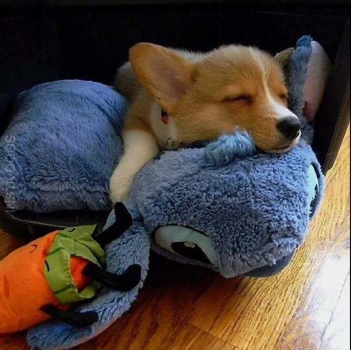 狗狗抱着心爱玩具的样子,心都快萌化了。当主人不在家的时候唯一能陪伴狗狗的只有玩具,所以这些毛茸茸的物件,对它们来说可是非常重要的 瞧瞧。不管干什么都要待在一起呢。