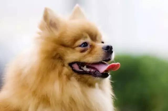 狗狗泪痕,狗狗有泪痕是什么原因