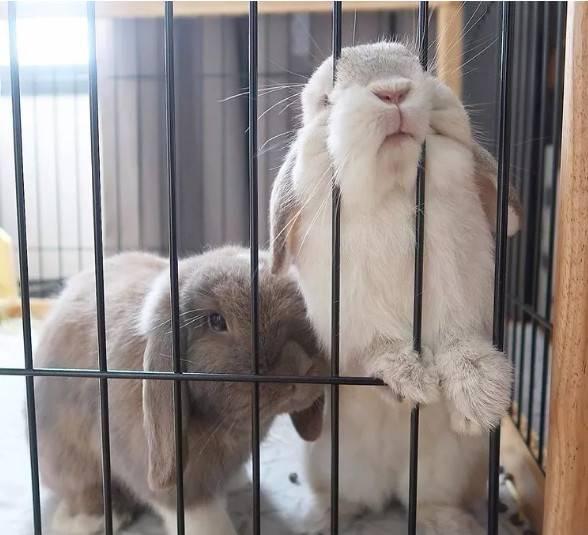 可爱加倍!两只垂耳兔形影不离的两只兔~