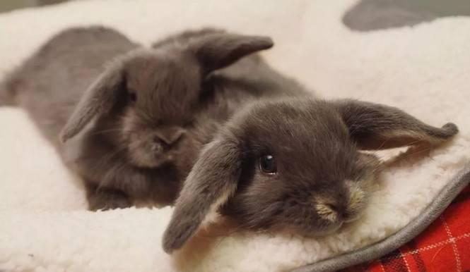 兔子的智商怎么样?会认识主人吗?