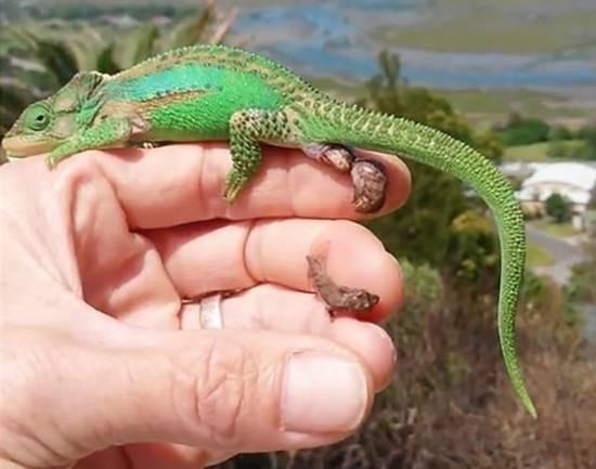 蜥蜴是变色龙吗?变色龙和蜥蜴的区别