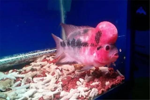 养罗必备:罗汉鱼褪色、发黑速效秘方!