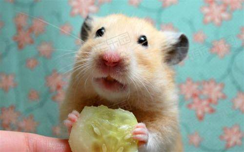 仓鼠跟老鼠有什么区别?