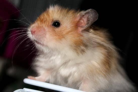 仓鼠喜欢什么?仓鼠讨厌什么?