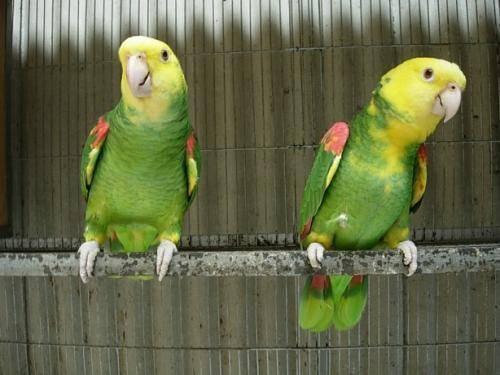 鹦鹉幼鸟剪羽、上环、剪指甲、洗澡等常见问题
