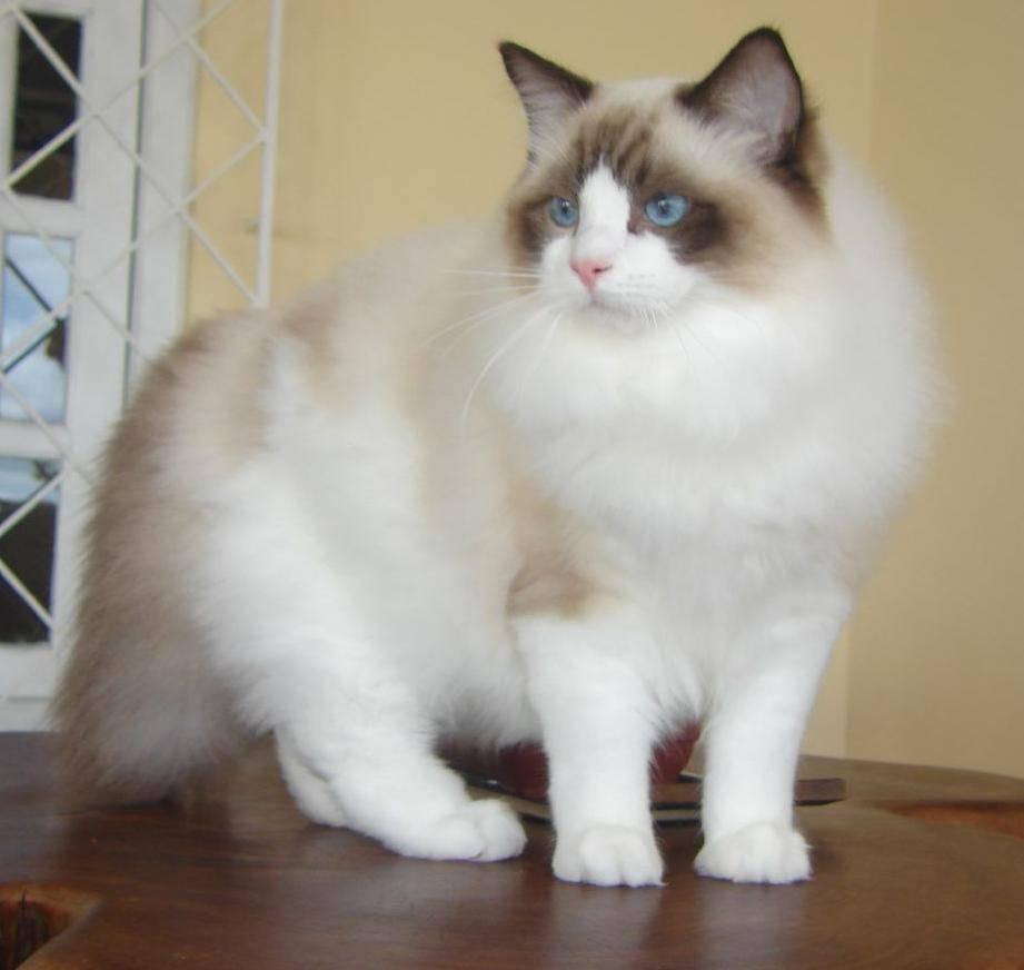 世界上最美的布偶猫
