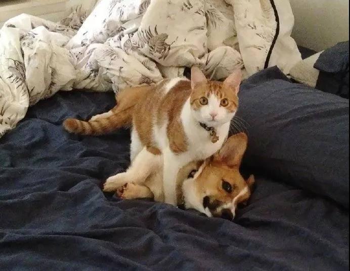 一只柯基和一只喵的幸福生活,没羞没躁的,好恩爱