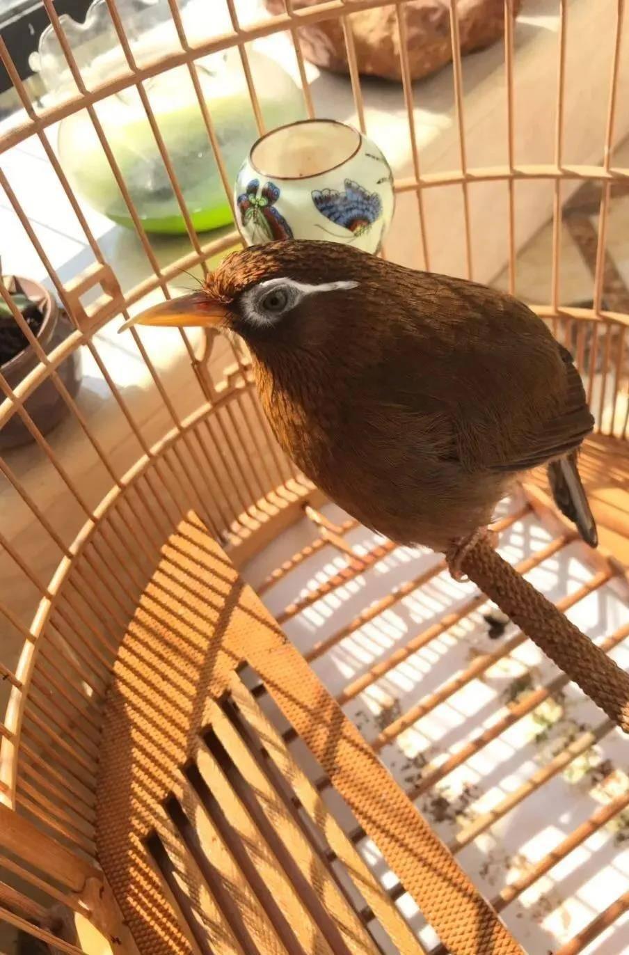 部分鸟友觉得,选购原毛画眉鸟,实实在在和赌石有一些类似,但一些掌握第一手货源的鸟友则是发觉,不管这一只鸟怎么变,如果您能够知道这一只鸟父母的长相,这一只鸟还处于原毛的时候可能不太看得出来它以后的长相,但换毛之后,其模样往往是和父母一个模子刻出来的。