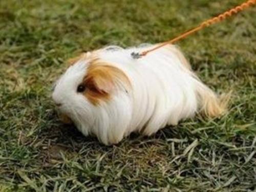 荷兰猪有鼠疫吗?养荷兰猪会得鼠疫吗