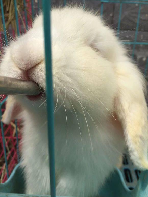 垂耳兔一只,长的可爱又好看哈哈。