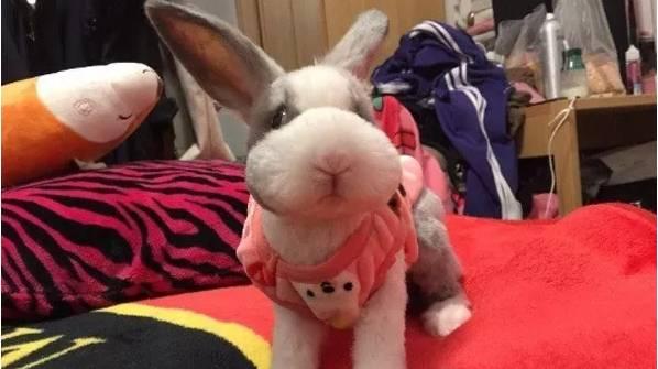 天热了,兔子可以剪毛吗