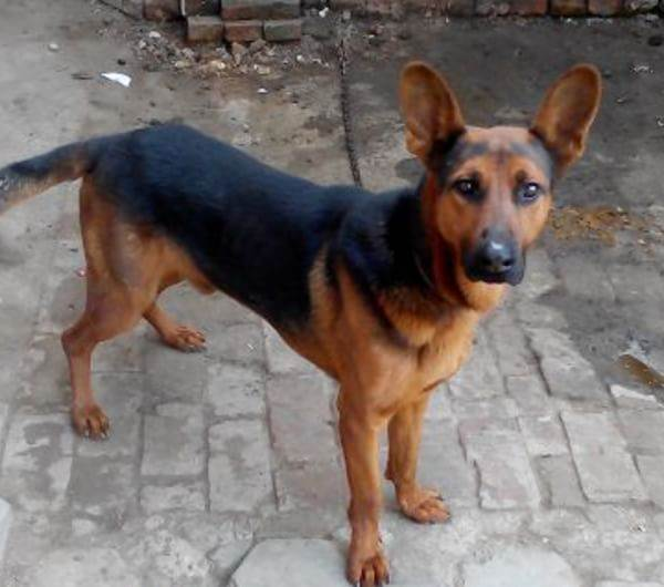 苏联红,十分凶猛,经常被用作守卫犬。适合用作工厂、家庭院落的守护犬