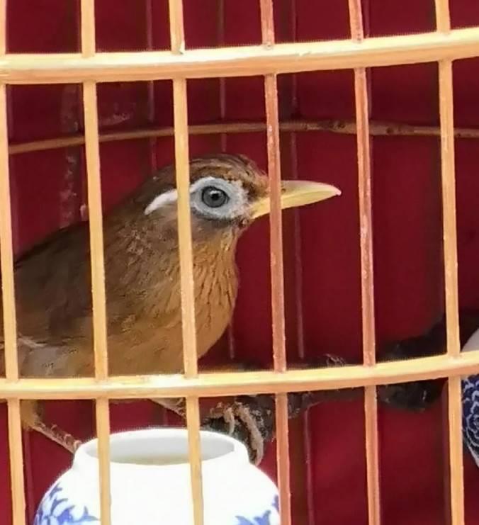 画眉鸟两广培养生头的方法