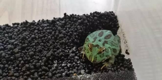 角蛙饲养日常趣事