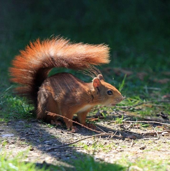 浓密的尾巴