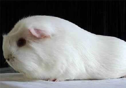 豚鼠要打疫苗吗