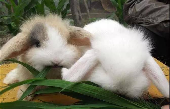 兔子不吃兔粮,只吃草怎么办?