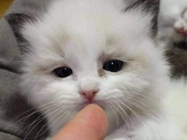 为什么养布偶猫的人越来越多?若让你选择一种猫陪伴,你会选它吗