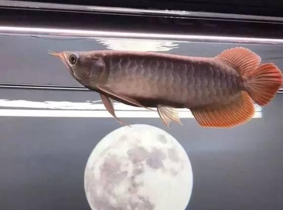 为大家介绍几种美丽而可爱的观赏鱼