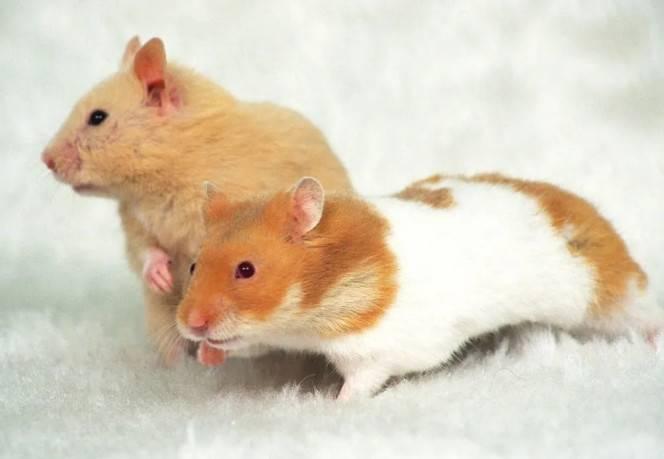 如何选购仓鼠垫料?卫生纸可以当仓鼠垫料吗?