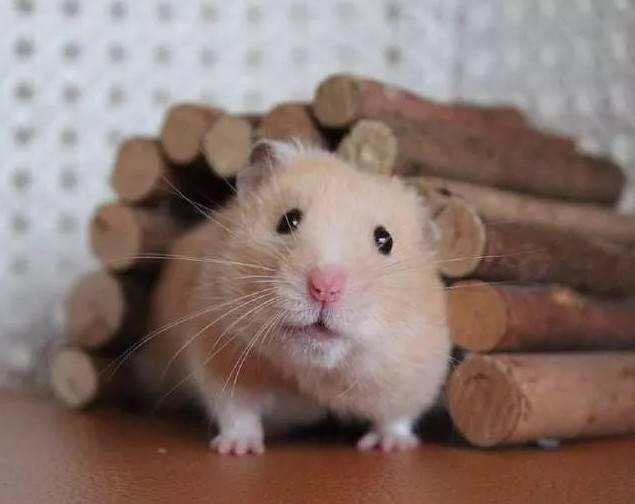 仓鼠的生命周期